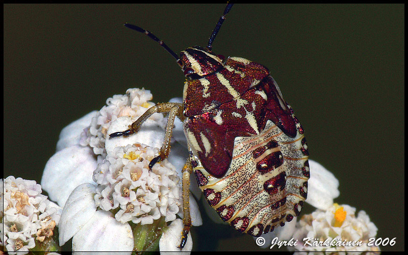 Carpocoris purpureipennis Kuparilude nymfi